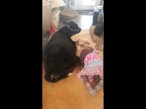 This Adorable Little Girl Loves Her Cow Cuddles
