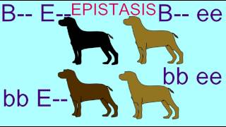 Epistasis In Inheritance Of Labrador Retriever Coat Color