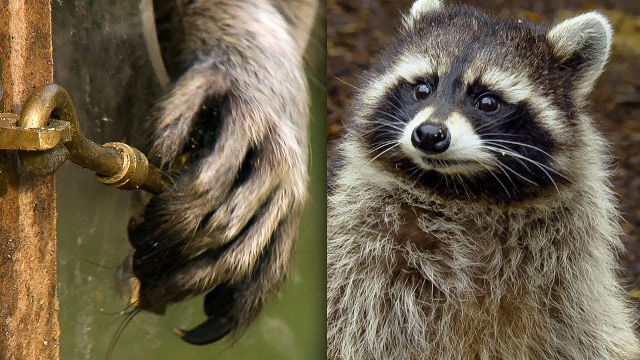 racoon demonstrates problem solving skills earth unplugged youtube