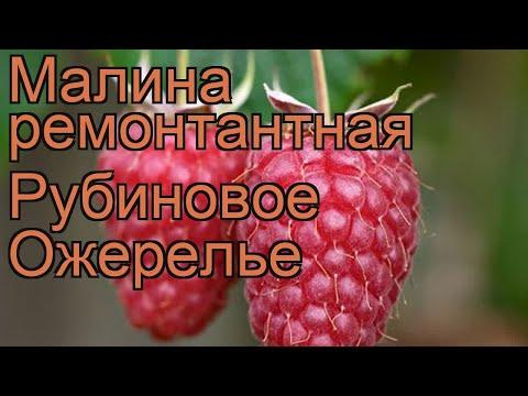 Малина ремонтантная Рубиновое Ожерелье 🌿 обзор: как сажать, саженцы малины Рубиновое Ожерелье | ремонтантная | рубиновое | ожерелье | рубино | малина | rubinovoe | ozherele | idaeus | rubus
