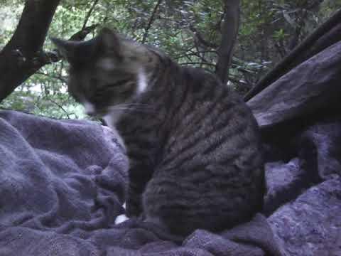 Agatha  Green Eye Fluorescence Intl Cat Day 64TN