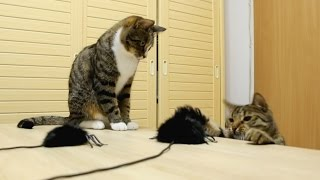 Cats vs Jumping Spiders