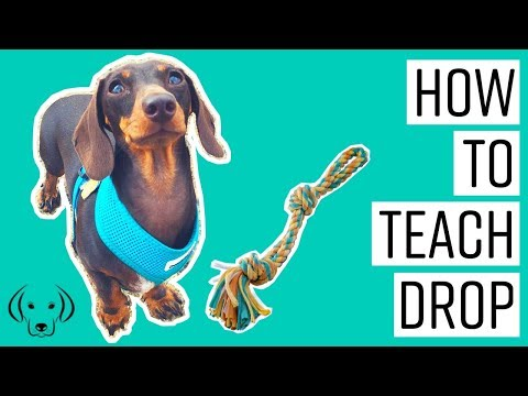 HOW TO: Teach a dog to drop it on cue