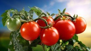 Как сажать томаты на рассаду? Видео Екатерины Хлебниковой(Как сажать томаты на рассаду, как пикировать, поливать и прикармливать, какой сорт выбрать, сорта помидор..., 2015-02-24T12:44:50.000Z)