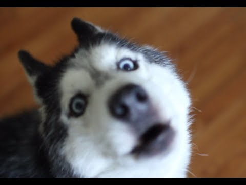 MISHKA WANTS WAFFLES!!! - Talking Husky Dog