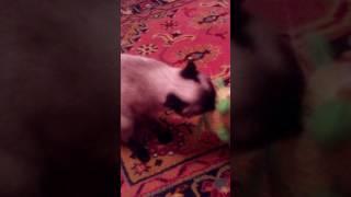 Кот что чувствует себя псом!