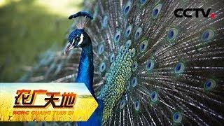 《农广天地》 20190524 坡上七彩翼 坡下小土鸡| CCTV农业