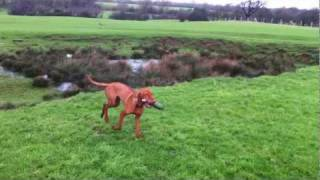 Gundog Training With Angus The Hungarian Vizsla Teaching Him The Back Command On Retrieves.
