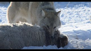 Nomads and Mongolian Wolf