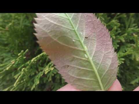 Розанная цикадка Как спасти розы от вредителей  Вредители роз