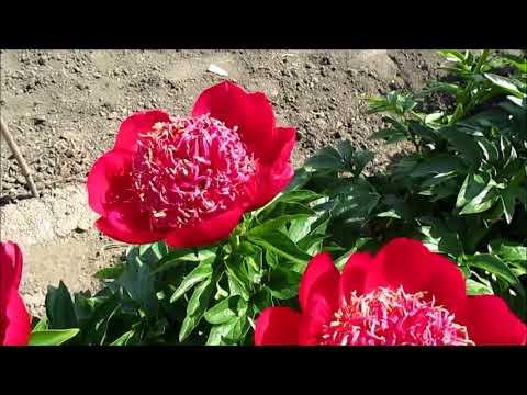 Уолтер Мейнс Пион с японской формой цветка