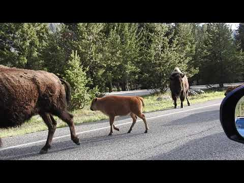 Bison Jam, Yellowstone National Park 6-3-19