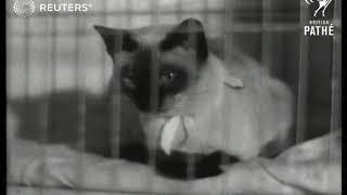 Siamese cat show in London (1946)