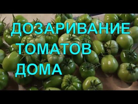 Дозревание ЗЕЛЕНЫХ томатов/Что делать если помидоры не успели созреть
