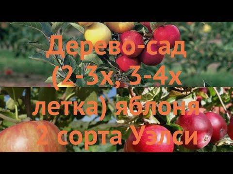 Яблоня обыкновенная Уэлси - Красное раннее 🌿 обзор: как сажать, саженцы яблони