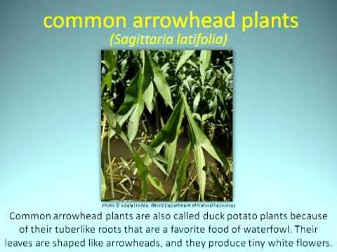 Rivers of Illinois: Plants