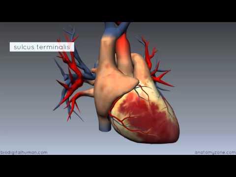 Heart Anatomy - Right Atrium - 3D Anatomy Tutorial