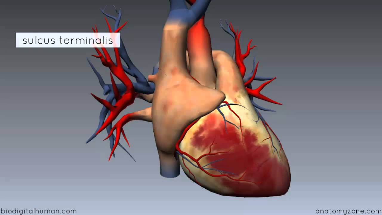Heart Anatomy Right Atrium 3d Anatomy Tutorial Youtube