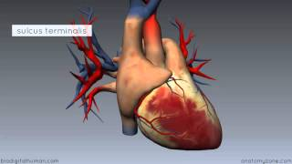 Heart Anatomy - Right Atrium - 3D Anatomy Tutorial