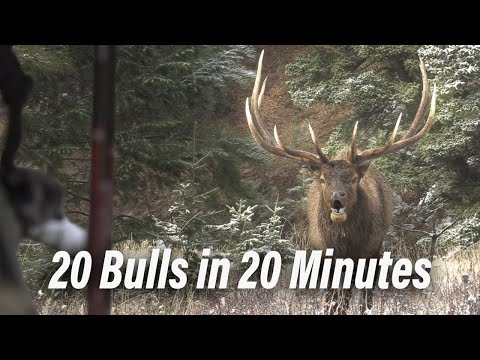 Bow Kills! Bulls and Bugles – Bow hunting at it's best!