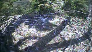 Humboldt Bay eagles,squeeing going on and Actions continues at HB nest,7/26/13