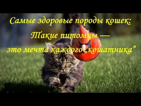 САМЫЕ ЗДОРОВЫЕ ПОРОДЫ КОШЕК   THE HEALTHIEST CAT BREEDS
