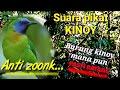 Suara Pikat Cucak Kinoy Ampuh Kinoy Mana Pun Pasti Datang  Mp3 - Mp4 Download