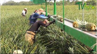 Cómo producir Piña a gran escala  (Costa Rica) - TvAgro por Juan Gonzalo Angel thumbnail