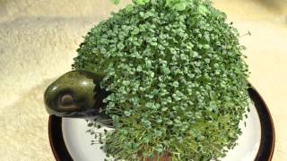 Time-lapse Chia Pet Turtle