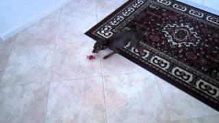 Miniature Pinscher Chasing Hexbug Scarab.mov