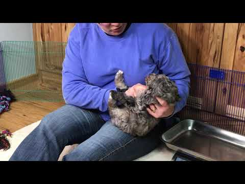Liberty's schnoodle puppies November 19, 2019