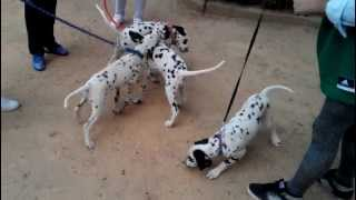 Cachorros de Dálmata jugando. Manchy Gingo Dardo Dona Katy