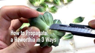 How to Propagate a Haworthia in 3 Ways