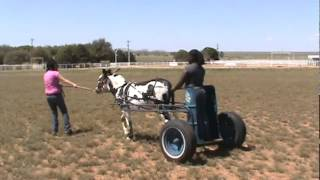 Odessa College - Training Gus To Pull A Chariot