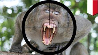 Video Monyet serang manusia di Jawa Tengah, warga panggil sniper - TomoNews download MP3, 3GP, MP4, WEBM, AVI, FLV Juli 2018