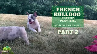 French Bulldog Puppies Playing - Harper and Buster Part 2