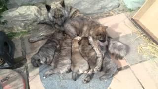 この子達の父犬は大龍(釜石リアス荘)で 黒褐と赤を交配して産まれてます...