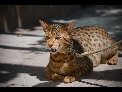 Top 10 Najdrahších Mačacích Plemien