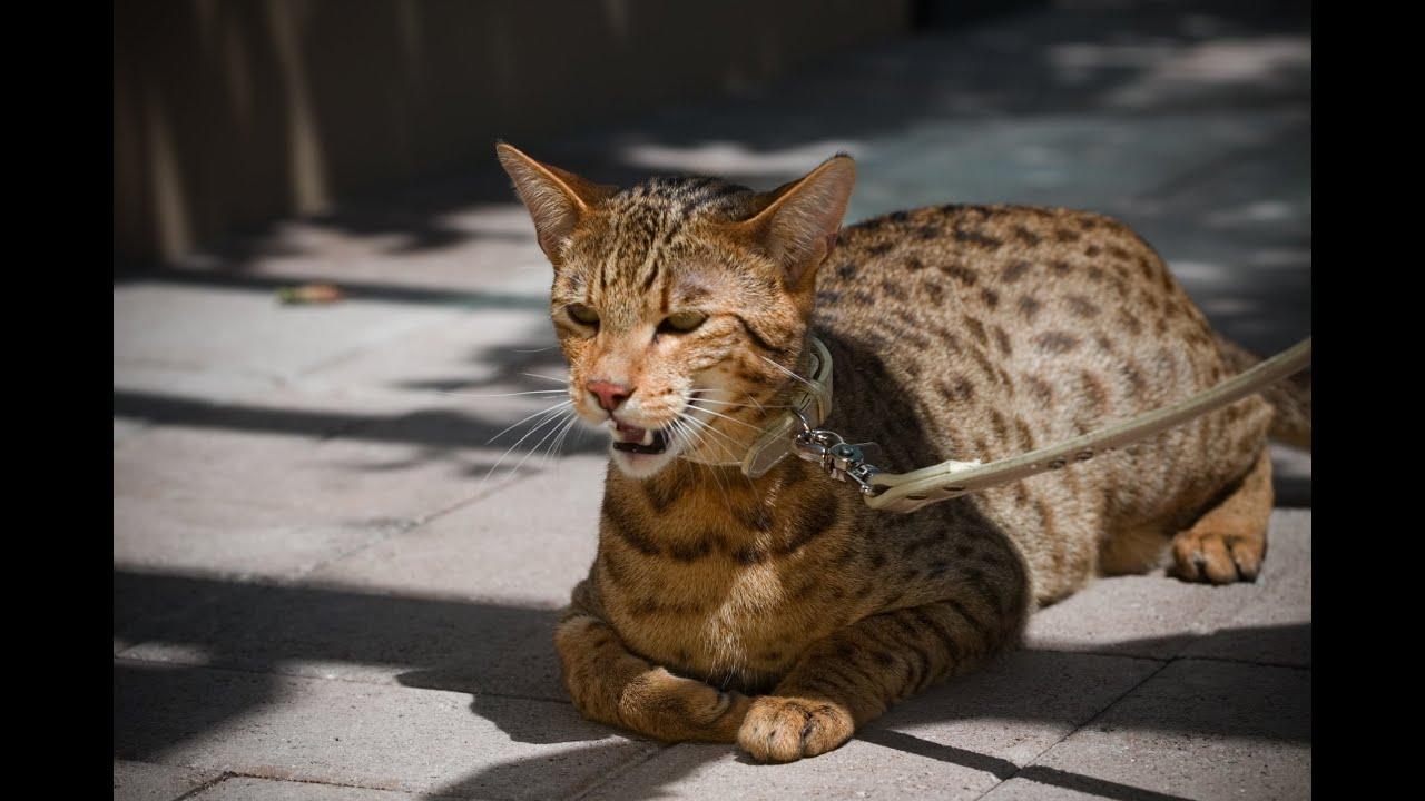 Top 10 Najdrahších Mačacích Plemien - YouTube 867e22820c4