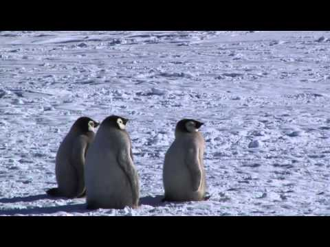 Emperor Penguins Kaiserpinguine Antarctica