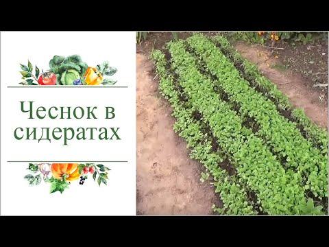 Посадка озимого чеснока в сидераты. Природное земледелие.