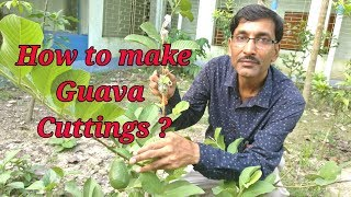 How to take cuttings of guava plant in the most perfect way.