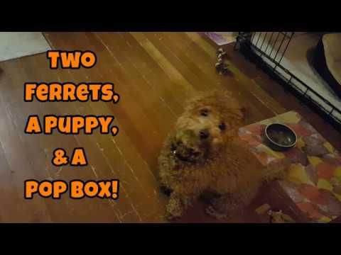 Two Ferrets, A Puppy, & A Pop Box! - Cute Animals Inside 4 - VOL. 59