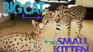 BIG CAT vs SMALL KITTEN!!