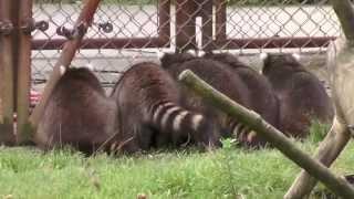 Waschbären warten auf Futter