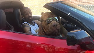 180LBS world famous pit bull HULK Rides in 100K 700hp Corvette one thing what went wrong!