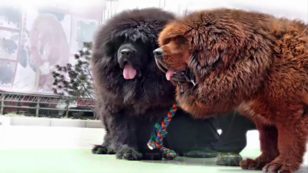 I cani pi costosi al mondo top 10 youtube for I cani youtube