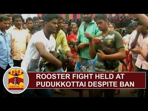 EXCLUSIVE | Rooster Fight held at Pudukkottai despite Ban | Thanthi TV