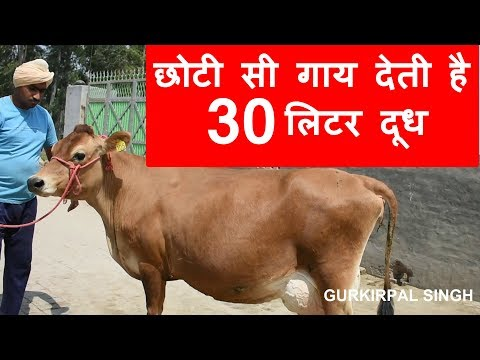 Small jersey cow giving 30 litre milk in 6th month of lactation