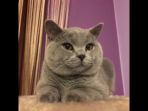 10-month-old british shorthair KIMI | The cutest 5 kilograms in the world!